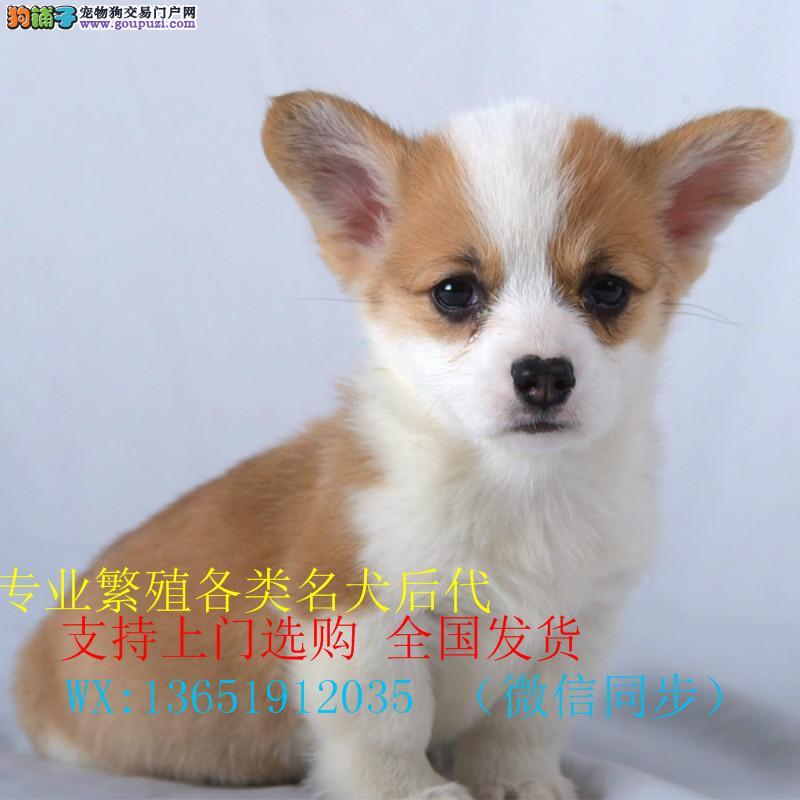 精品纯种两色三色 柯基幼犬 出售。批发零售均可健康