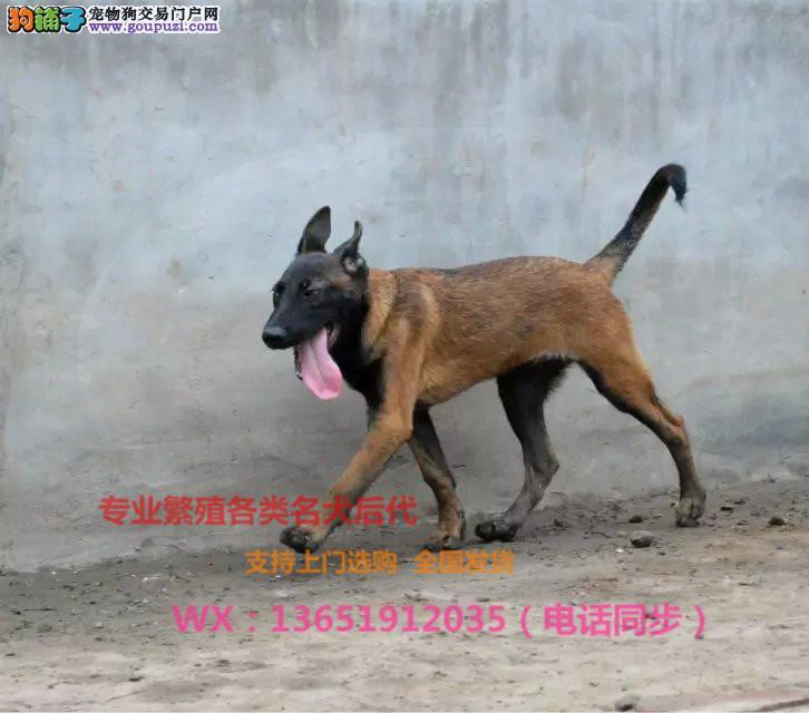 马犬纯种幼犬出售 红马猎犬 短毛犬 护卫犬警犬包纯种