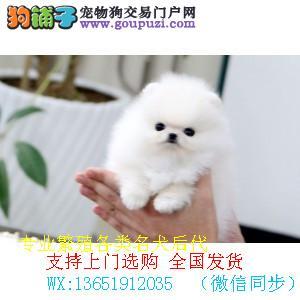 信誉第一 品质第一 精品比熊幼犬 健康质保 十佳犬舍.