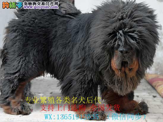正规犬舍出售纯种藏獒 大狮头藏獒 犬中霸主值得拥有