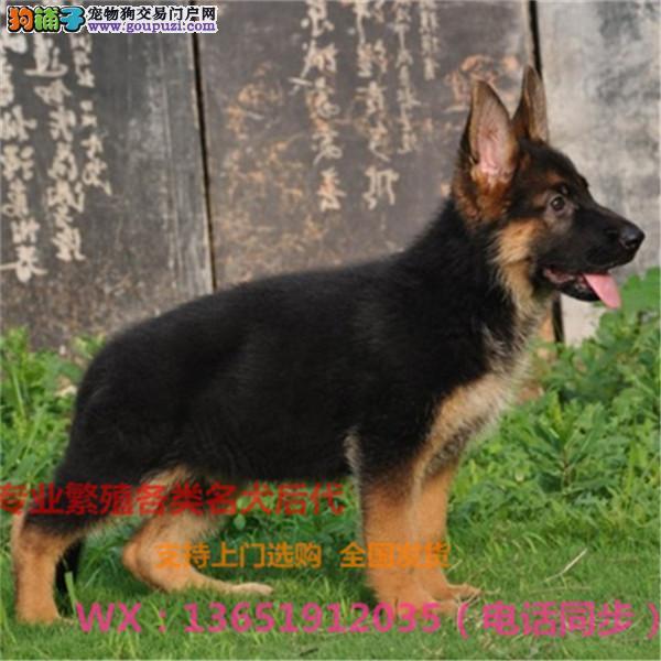纯种德国牧羊犬出售、犬舍直销、诚信交易、协议质保