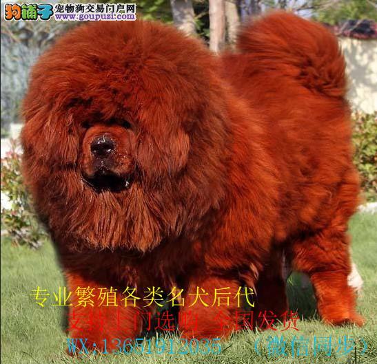 繁殖基地出售 百万藏獒犬后代 黑色 黄色都有忠诚护主