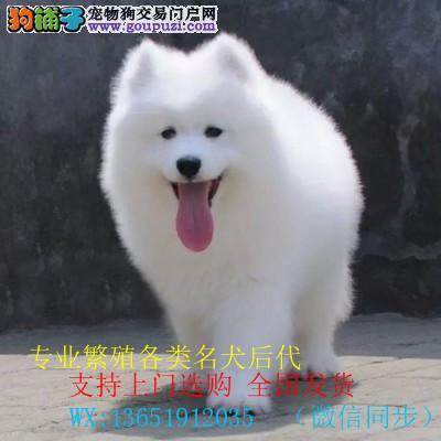 爱斯基摩微笑天使白色萨摩耶犬正规犬舍繁育精品保健康