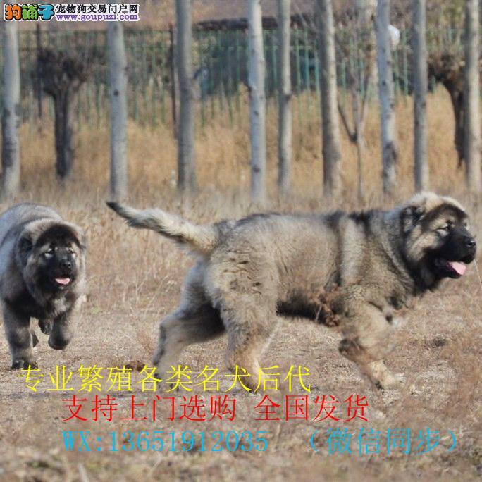 纯种高加索幼犬~疫苗齐全~协议质保免费送货上门