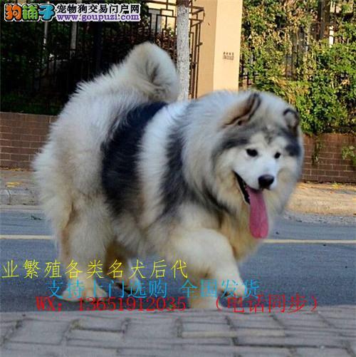 出售纯种阿拉斯加犬宠物狗活体幼犬黑色灰红色雪橇犬