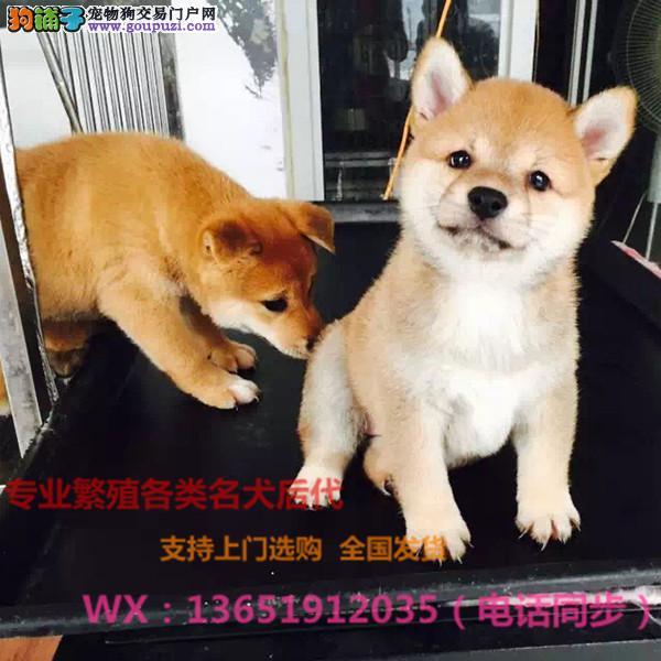 纯种日本柴犬,犬舍直销,疫苗齐全保健康,喜欢加微信