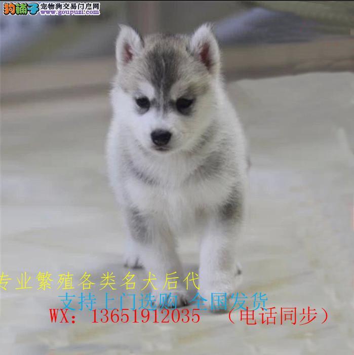 非常帅气的三火蓝眼哈士奇幼犬 出售免疫齐全