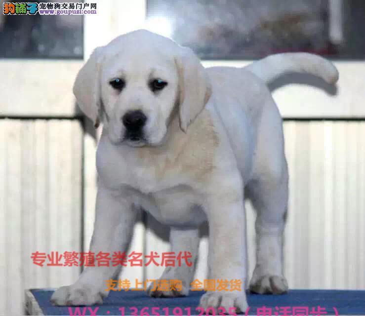 正规犬舍直销纯种拉布拉多犬 包纯包健康 签协议有保障