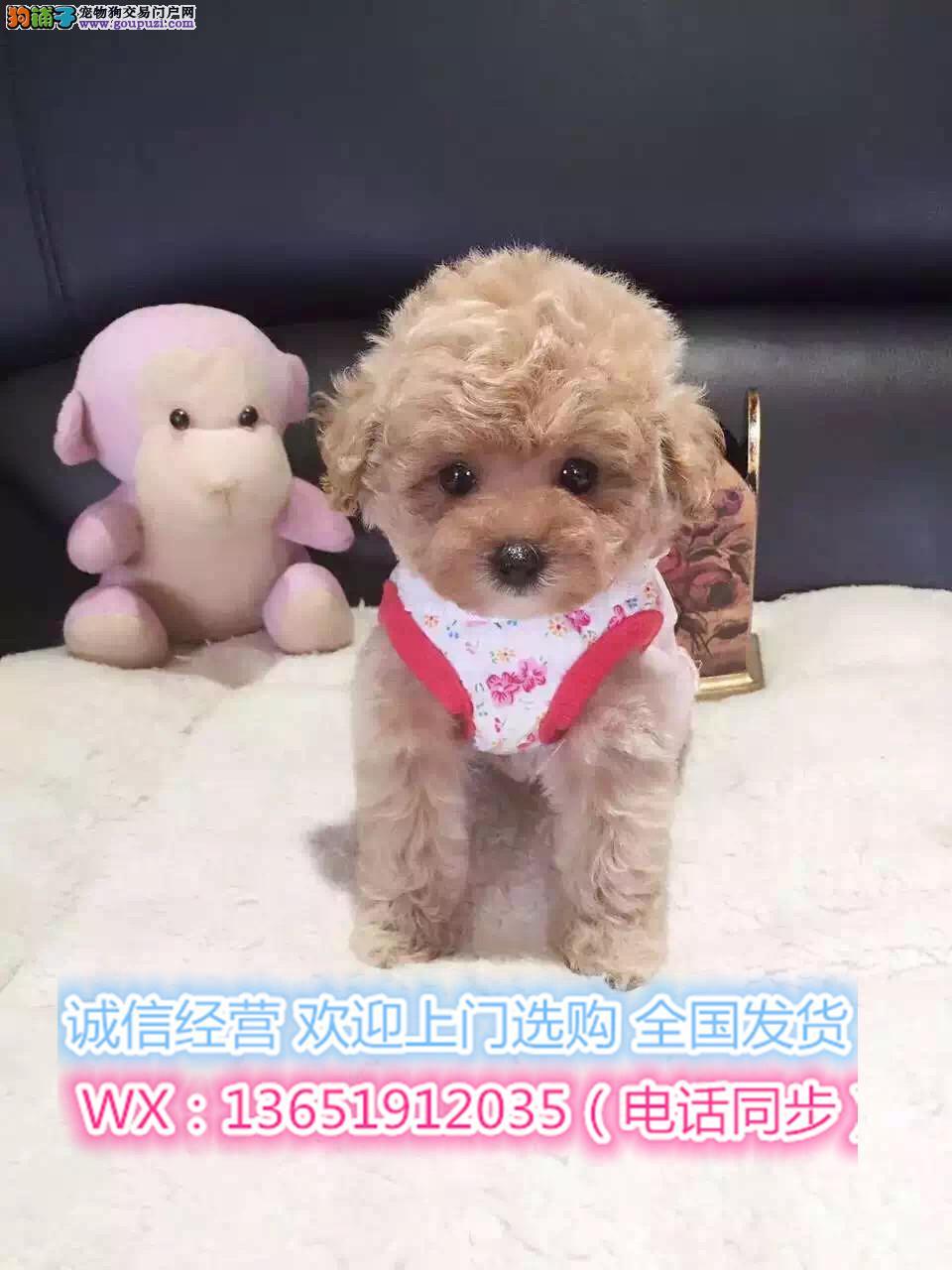 顶级精品泰迪犬出售疫苗做齐多只可选保健康