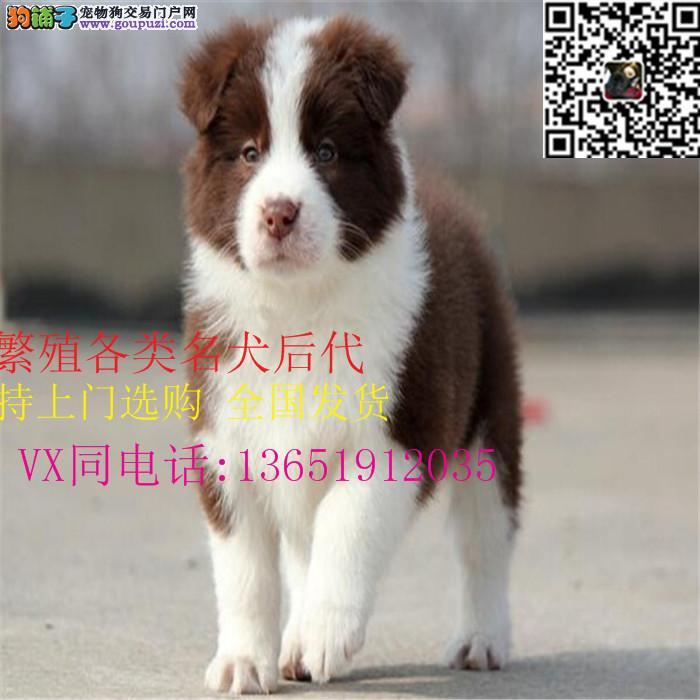 聪明勇敢边境牧羊犬幼犬出售 最忠诚伴侣边境宝宝
