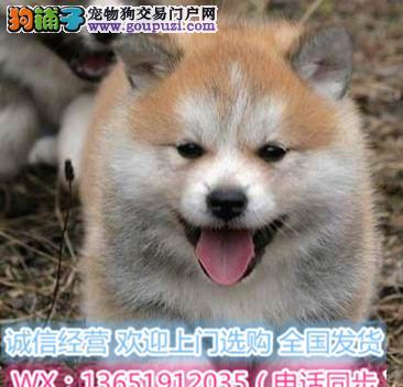 顶级精品秋田犬出售疫苗做齐多只可选保健康