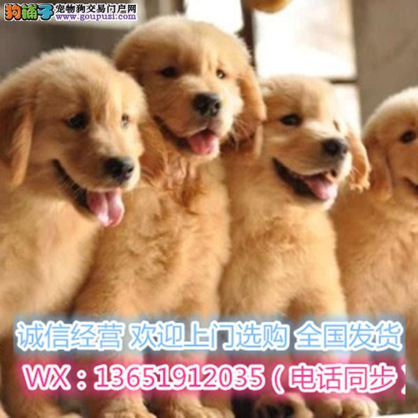 顶级精品金毛犬出售疫苗做齐多只可选保健康