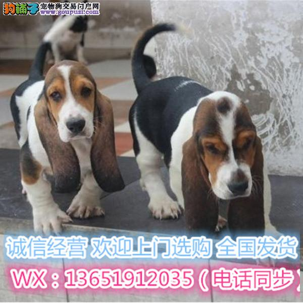 宠物狗巴吉度出售 纯种巴吉度幼犬 保证健康纯种