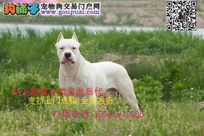 杜高打猎一把手 凶猛猎犬 保纯保健康 带证书带芯片