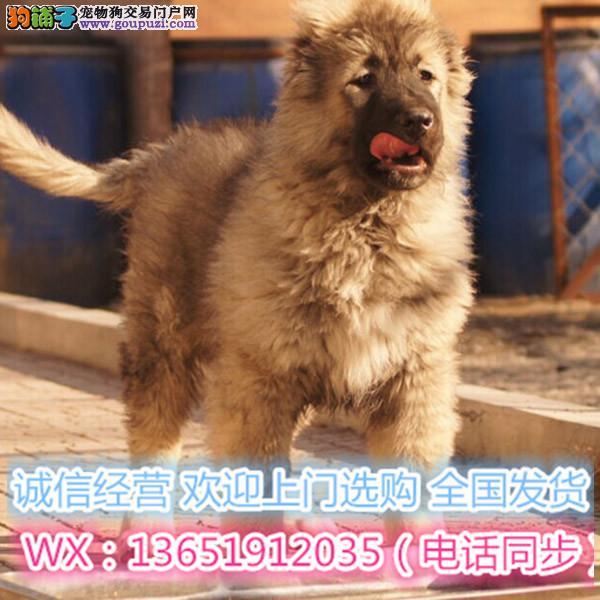 巨型熊版狮子头高加索犬 猛犬 看家护院第一能手