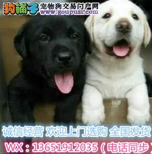买拉布拉多选正规拉布拉多犬繁殖基地 品质信得过