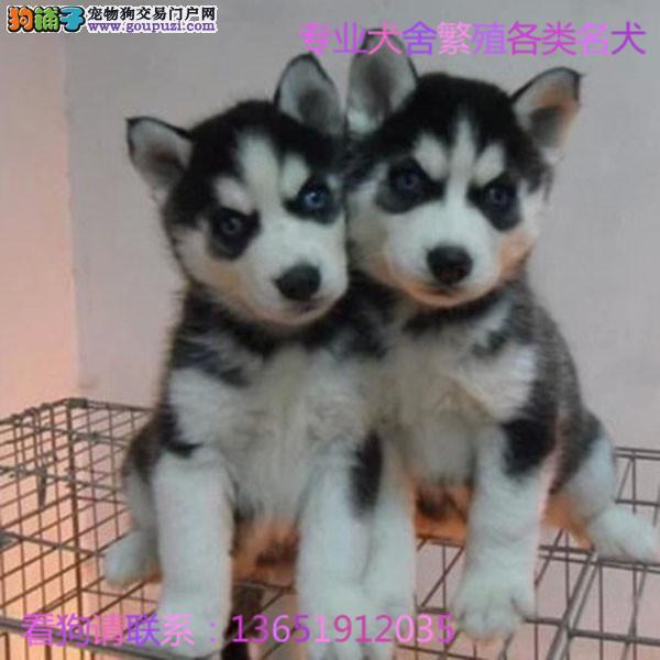 赛级哈士奇幼犬证书芯片齐全可以签订协议