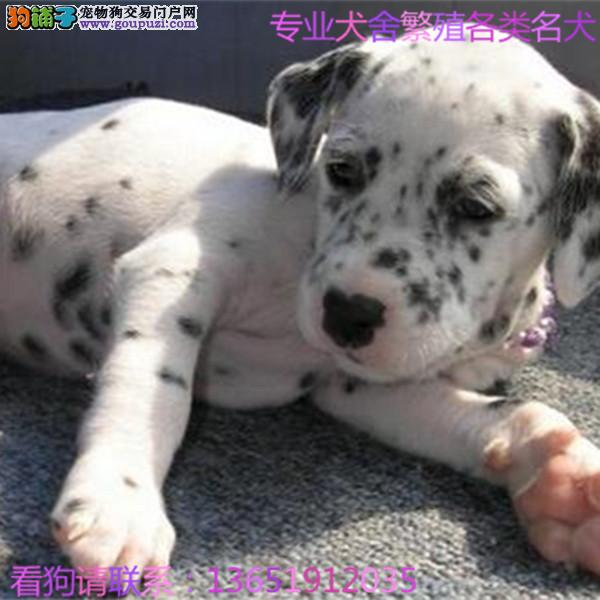 总狗场直销 纯种可爱斑点幼犬 保纯保健康全国
