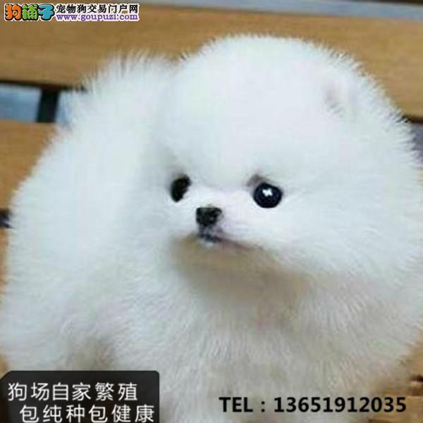 纯种茶杯犬幼犬身材渺小超级可爱