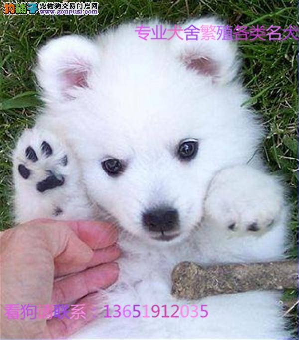 纯种 银狐多只可选 正规犬舍出售 签订协议