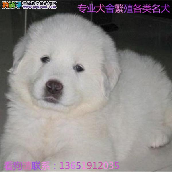 纯种大白熊幼犬是很迷人 小狗很活泼 也很乖巧