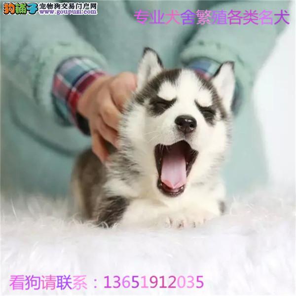 出售纯种哈士奇幼犬 健康保证 信誉保证 诚信保证