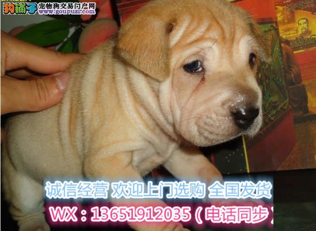 超可爱的沙皮幼犬 适应能力强 血统纯正 聪明好训