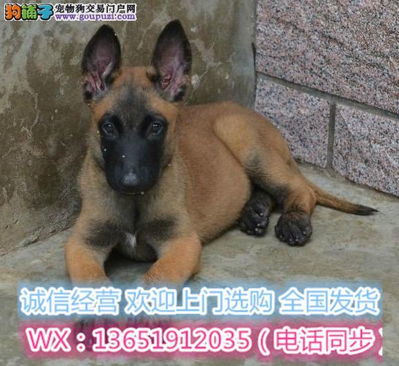 正规训犬基地常年繁殖马犬现货实拍健康有保障有证书