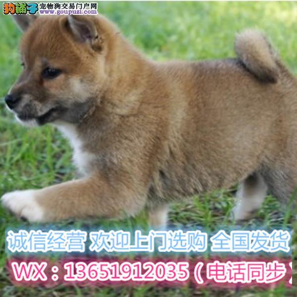 出售精品 日本柴犬 幼崽公母都有 可亲自来选