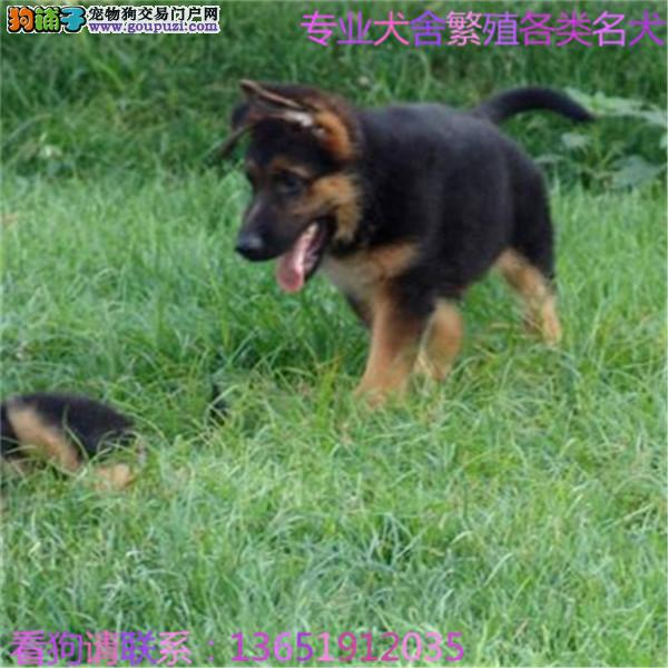 大型专业培育狼狗犬幼犬多只包健康育苗驱虫齐全包纯种