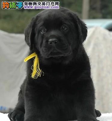 忠厚老实的小拉布拉多导盲犬幼犬 庭伴侣犬包邮