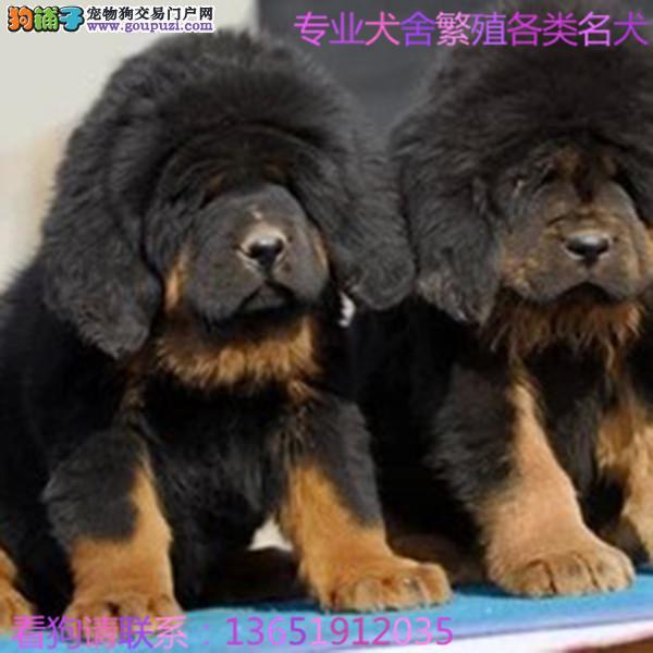 大型专业培育苏牧犬幼犬多只包健康育苗驱虫齐全包纯种
