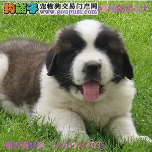 大型专业培育伯恩山幼犬多只包健康育苗驱虫齐全包纯种