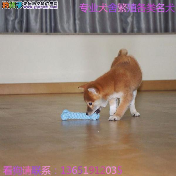 大型专业培育柴犬幼犬多只包健康育苗驱虫齐全包纯种