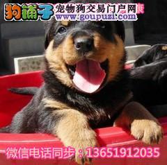 精品防暴护卫犬罗威那幼犬凶猛忠诚欢迎上门