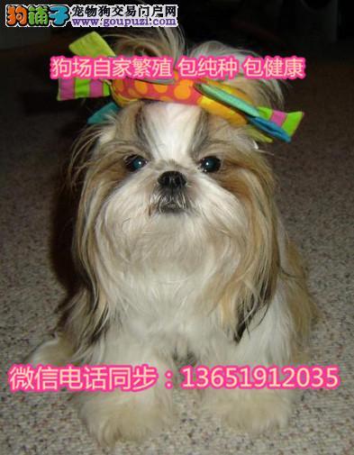 品小体西施犬 尊贵犬种,高端伴侣犬全国包邮