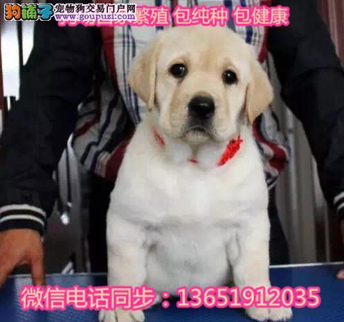 忠厚老实的小拉布拉多导盲犬幼犬 庭伴侣可发货