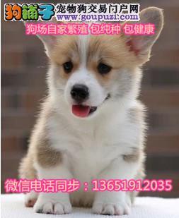 顶级精品威尔士柯基犬出售疫苗做齐欢迎上门