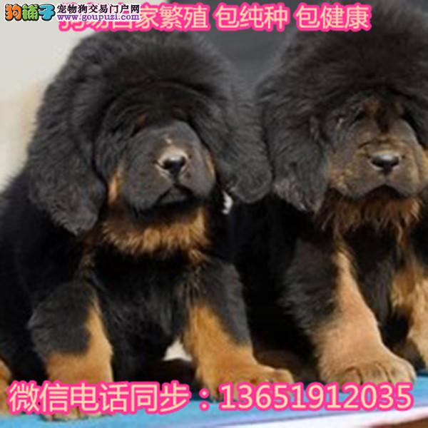 藏獒幼犬活体纯种藏獒出售长毛大狮头铁包金