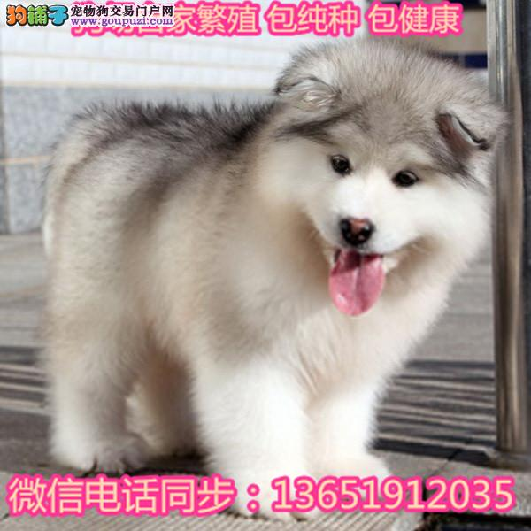 纯种十字脸阿拉斯加犬顶级熊版巨型阿拉斯加幼犬