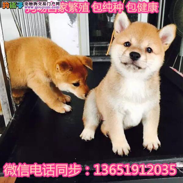出售纯种日本柴犬宠物狗狗活体幼犬