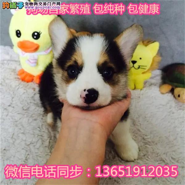 柯基犬 斗牛犬 柴犬 秋田犬 纯种幼犬 宠物狗 活体