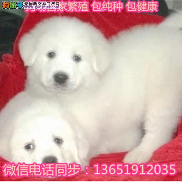 出售双血统大白熊幼犬/包纯种健康/家庭繁殖宠物狗狗