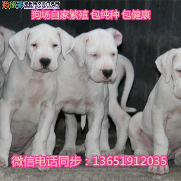 出售杜高犬活体幼犬白色海盗杜高犬宠物狗幼犬
