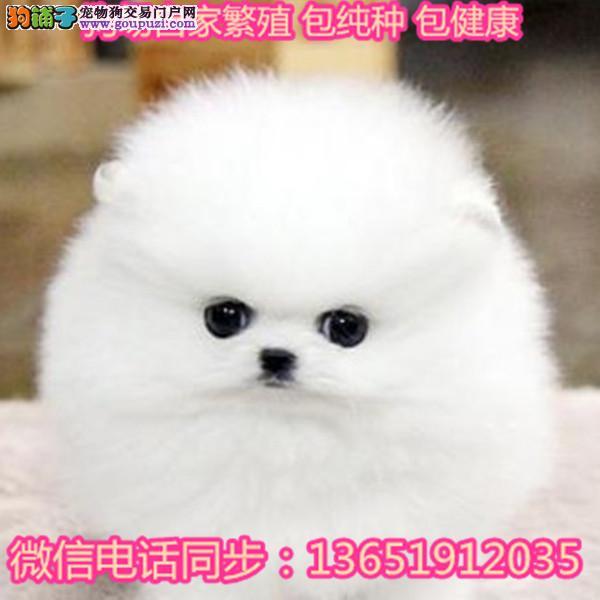 出售哈多利系博美犬幼犬活体俊介犬