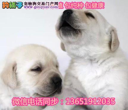 血统拉布拉多幼犬纯种奶白色黑色拉拉小七同款