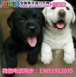 CKU血统拉布拉多幼犬纯种奶白色黑色拉拉小七同款