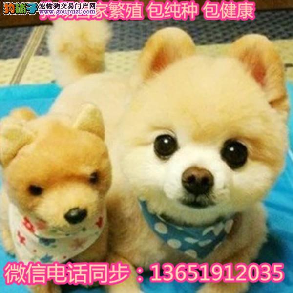 出售哈多利系博美犬幼犬活体俊介犬宠物狗狗