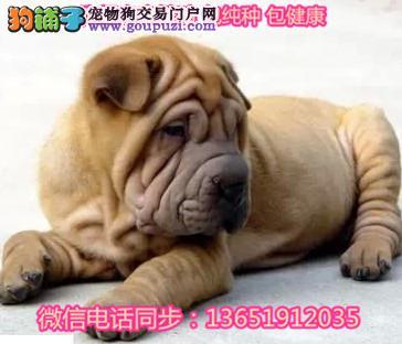 纯种宠物狗沙皮犬纯种沙皮狗褶皱犬沙皮狗