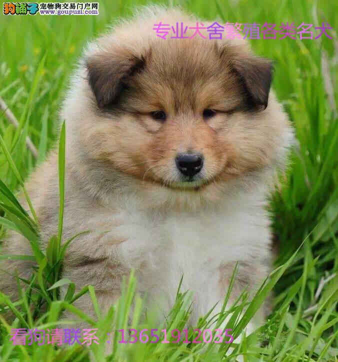 犬舍直销纯种苏格兰牧羊犬双血统终身保障 带证书